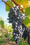 Uvas azules en otoño Fotos de archivo