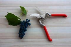 Uvas azules en piso beige con las tijeras de podar del metal extendido Fotos de archivo