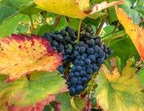 Uvas azules en una acción de la vid en otoño Imagenes de archivo