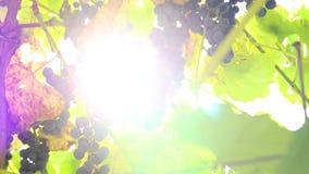 Uvas azules en una ramificación almacen de metraje de vídeo