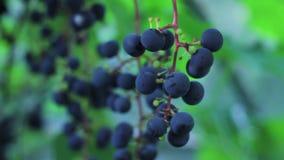 Uvas azules en vid