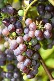 Uvas azules listas para escoger Fotografía de archivo libre de regalías