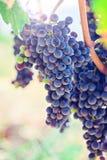Uvas azules maduras Fotos de archivo