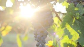 Uvas azules maduras en el viñedo, tiro del carro metrajes