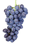 Uvas azules mojadas frescas aisladas en el fondo blanco Foto de archivo libre de regalías
