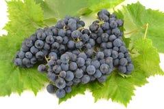 Uvas azules y hojas brillantes de la uva Imágenes de archivo libres de regalías