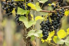 Uvas azules y x28; Vitis vinifera y x29; Imagen de archivo libre de regalías