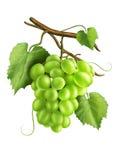 Uvas blancas ilustración del vector