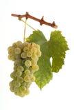 Uvas blancas con la hoja Fotografía de archivo libre de regalías