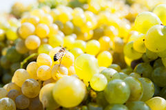 Uvas blancas dulces Imagen de archivo libre de regalías