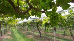 Uvas blancas en la granja Foto de archivo libre de regalías