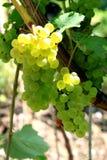 Uvas blancas en la provincia italiana de Trento Fotografía de archivo libre de regalías