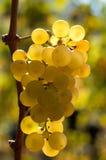 Uvas blancas en luz del sol Imagen de archivo libre de regalías