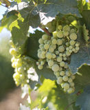 Uvas blancas en viñedos Foto de archivo