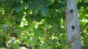 Uvas blancas en vid almacen de metraje de vídeo