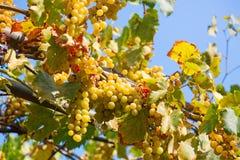 Uvas blancas maduras deliciosas contra el cielo azul durante día soleado Foto de archivo libre de regalías