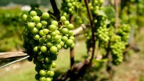 Uvas blancas maduras en el viñedo almacen de video
