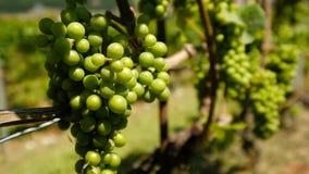 Uvas blancas maduras en el viñedo metrajes