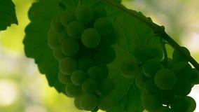 Uvas blancas para el vino metrajes