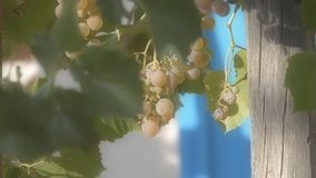 Uvas blancas para el vino almacen de metraje de vídeo