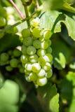 Uvas blancas que cuelgan de vid verde con el fondo borroso del viñedo Imagenes de archivo