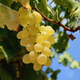 Uvas brancas 12 Fotografia de Stock