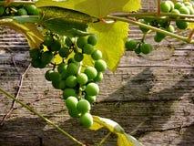 Uvas brancas Imagem de Stock