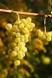 Uvas brancas Fotos de Stock