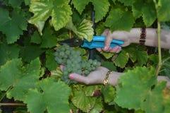 Uvas brancas Imagem de Stock Royalty Free