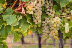 Uvas brancas de riesling na videira fotografia de stock royalty free