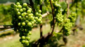 Uvas brancas maduras no vinhedo filme