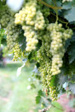 Uvas brancas na província de Trento, Italy fotografia de stock royalty free