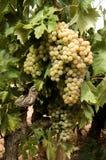 Uvas brancas na videira Imagens de Stock