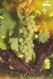 Uvas brancas na videira na luz do sol brilhante Imagem de Stock