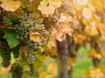 Uvas brancas no vinhedo Imagens de Stock