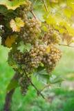 Uvas brancas no vinhedo Imagem de Stock Royalty Free