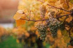 Uvas brancas no vinhedo Fotografia de Stock Royalty Free