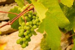 Uvas brancas no vinhedo Fotos de Stock Royalty Free