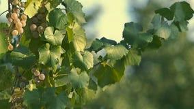 Uvas brancas para o vinho video estoque