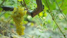 Uvas brancas para o vinho vídeos de arquivo