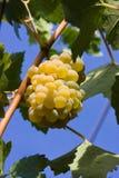 Uvas brancas prontas para a colheita Foto de Stock Royalty Free