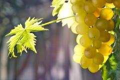 Uvas brancas que penduram em um arbusto em um dia bonito ensolarado fotografia de stock