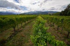 Uvas brancas Sauvignon Blanc em um winefarm em Nova Zelândia Marlborough fotos de stock