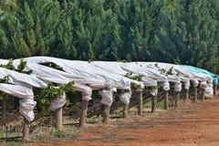 Uvas cobertas no vinhedo Fotografia de Stock Royalty Free