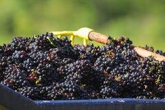 Uvas colhidas para o vinho Fotos de Stock Royalty Free