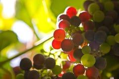 Uvas coloreadas Imagenes de archivo