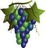 Uvas con las hojas Foto de archivo