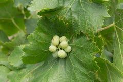 Uvas crecientes verdes de Riping en la vid Imagen de archivo