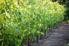 Uvas crescentes nas fileiras em plantações Imagem de Stock Royalty Free