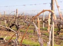Uvas crescentes para o vinho em Moldova Cricova Imagens de Stock